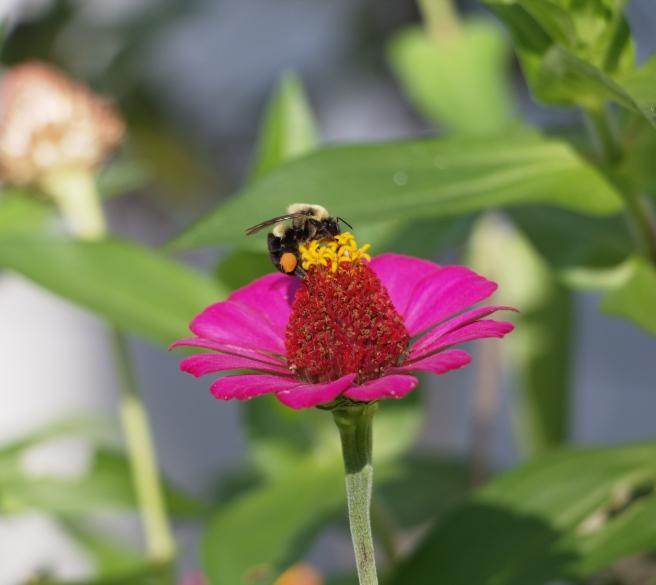 Pollinator at work 2015-09-06 16.06.24