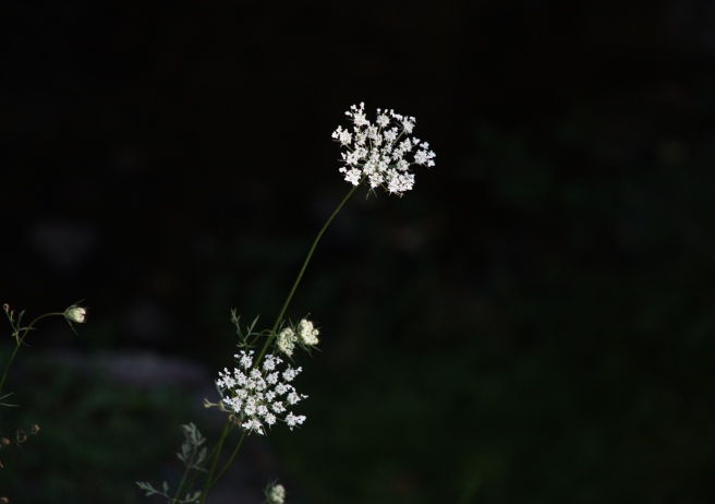 Queen Anne's lace 2015-09-06 17.20.01