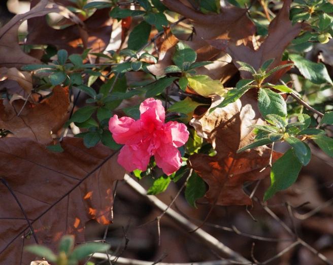 Encore azalea flower 2015-11-15 15.29.04