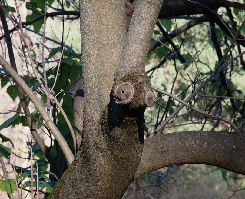 Snail-head tree 2015-11-15 15.52.52