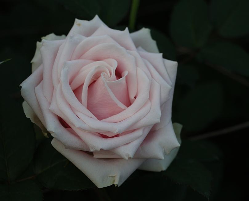 Pink rose 2015-12-06 17.02.12.jpg