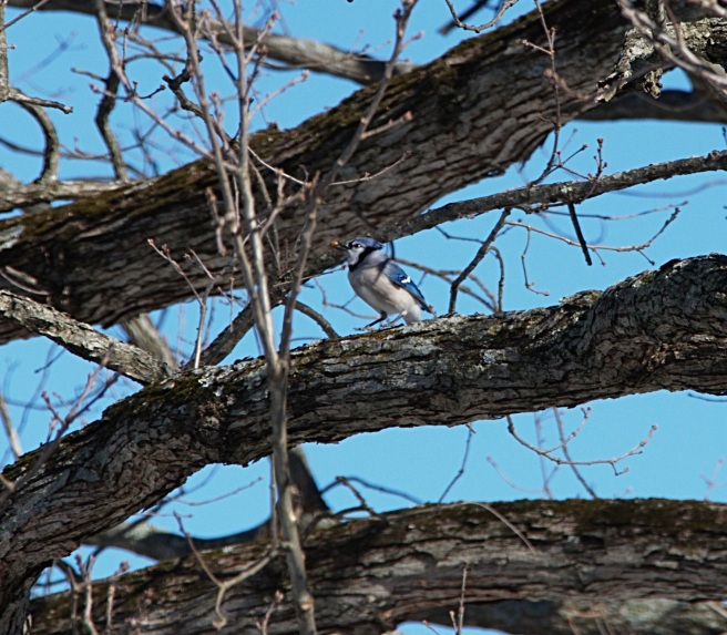 Blue bird with seed 2016-01-30 13.08.31.jpg
