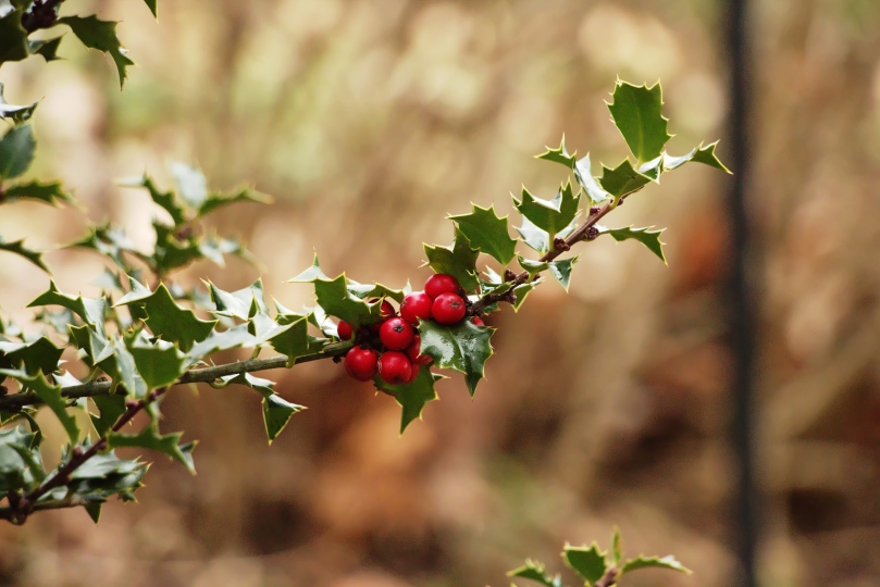 Pop-out winter berries smaller AFF 2016-01-09 12.14.46.jpg