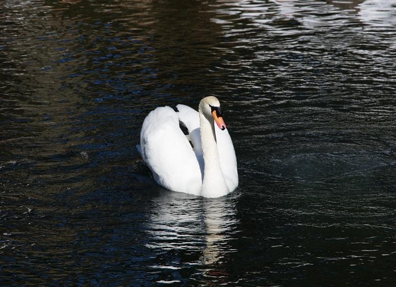 Swan 2 2016-01-30 13.19.17.jpg