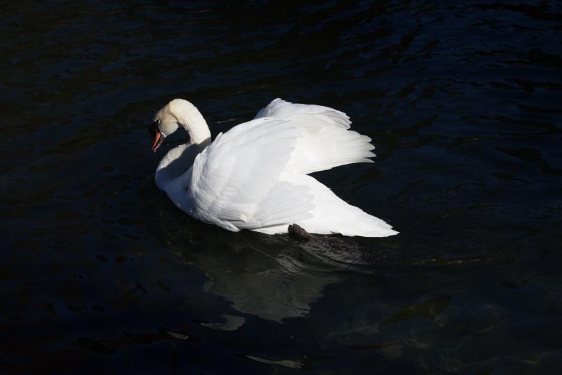 Swan 2016-01-30 13.19.36.jpg