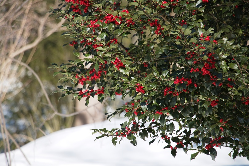 Winterberries and snow 2016-01-30 13.28.52.jpg