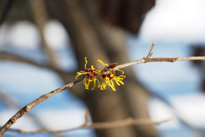 Witch hazel 2016-01-30 12.59.39.jpg