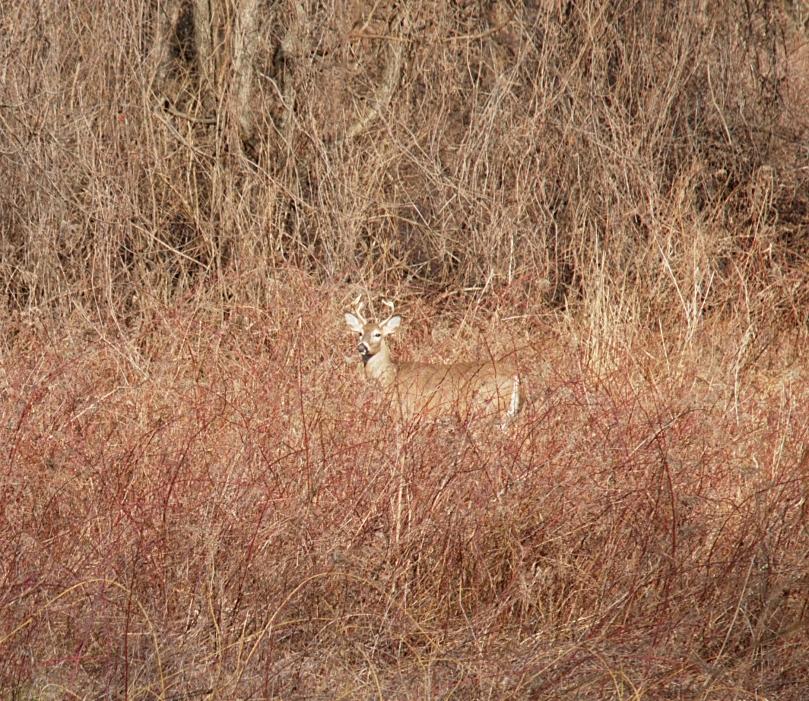 Deer by Pennypack trail AFF 2016-02-06 15.35.23.jpg