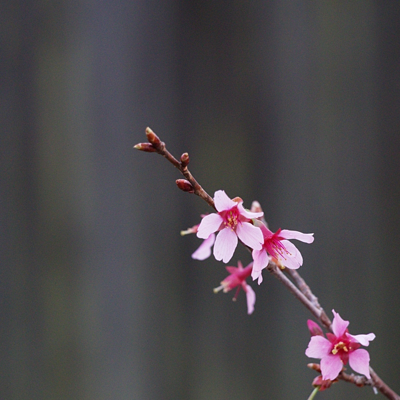 Cherry blossoms up close AFF 2016-03-15 18.33.54.jpg