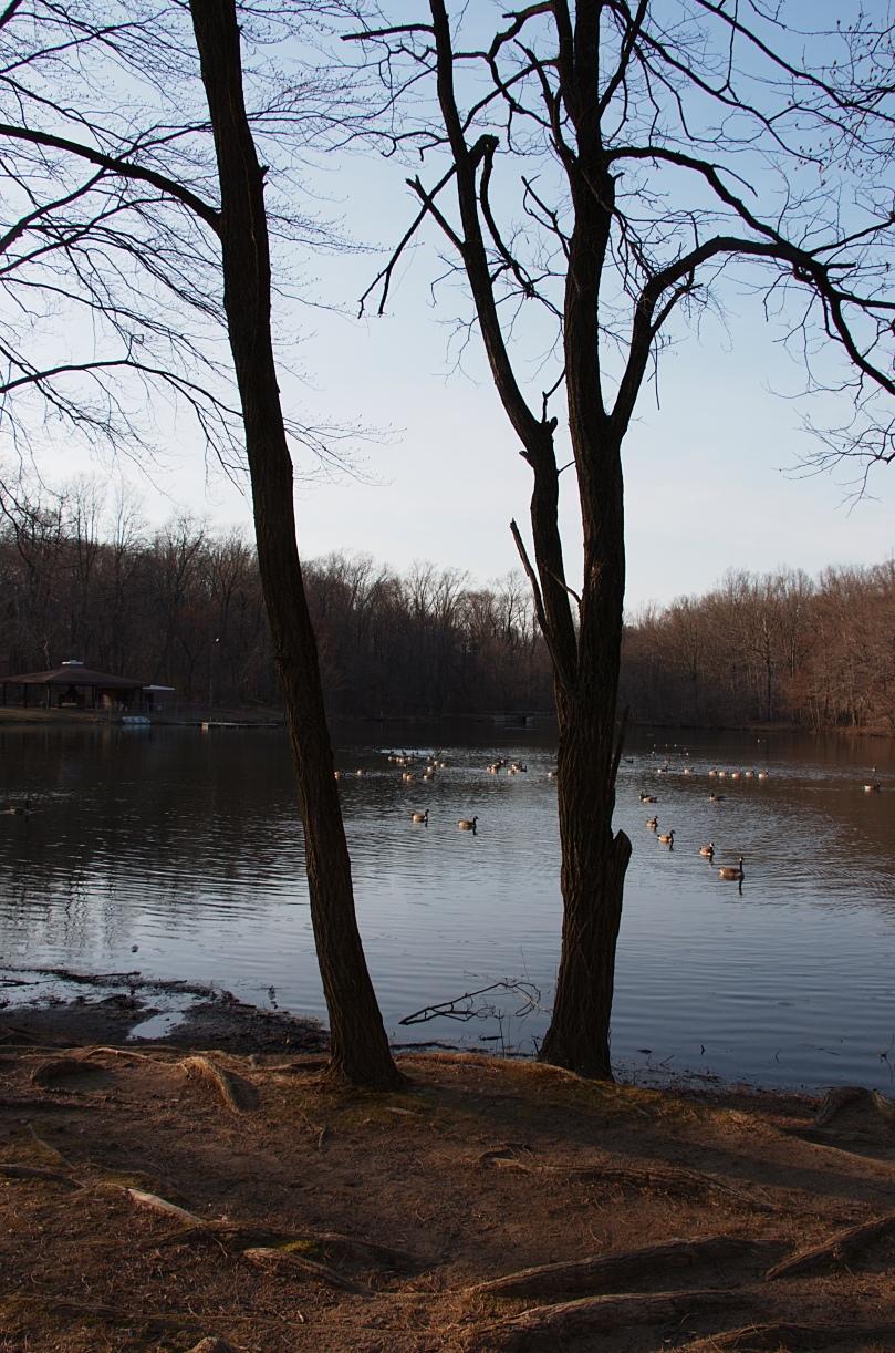 Geese on pond AFF 2016-03-08 17.36.48.jpg