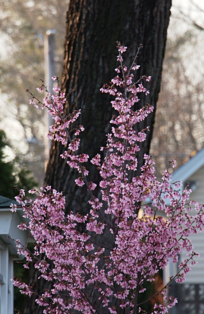 Radiant cherry blossoms detail 2016-03-15 18.39.07.jpg
