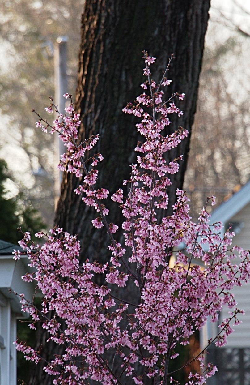Radiant cherry blossoms detail 2016-03-15 18.39.07.jpg