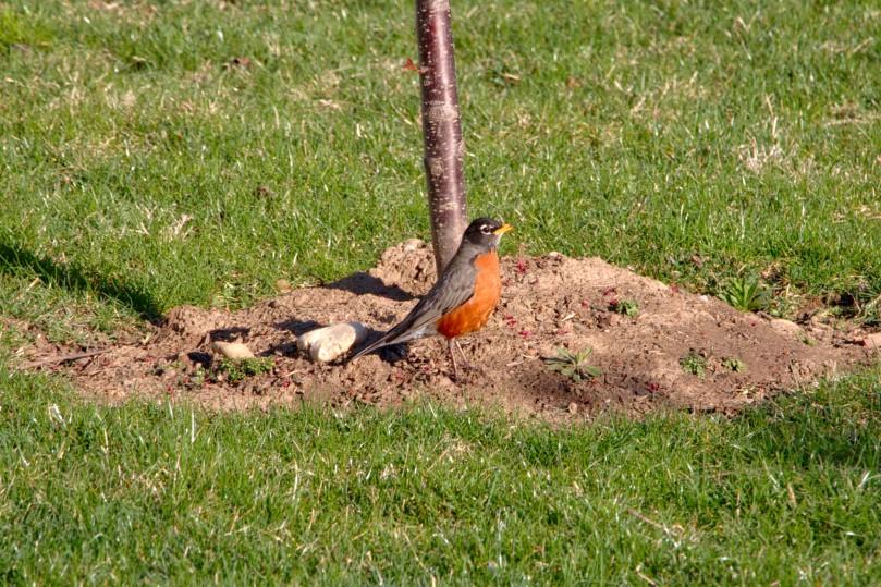 Singing Robin small AFF 2016-03-30 08.34.jpg
