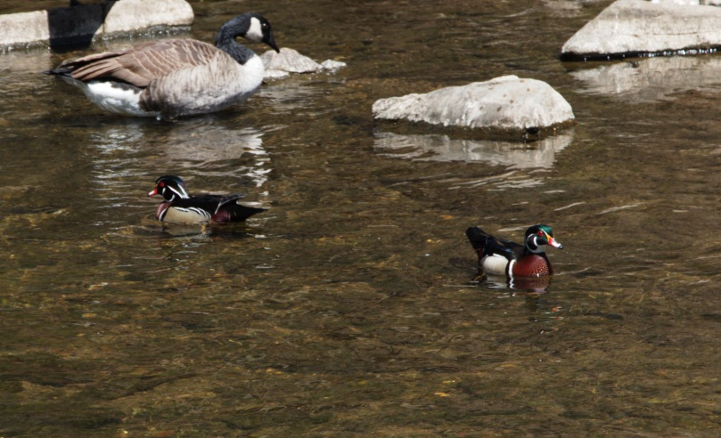 Colorful ducks 2016-04-16 13.35.55.jpg