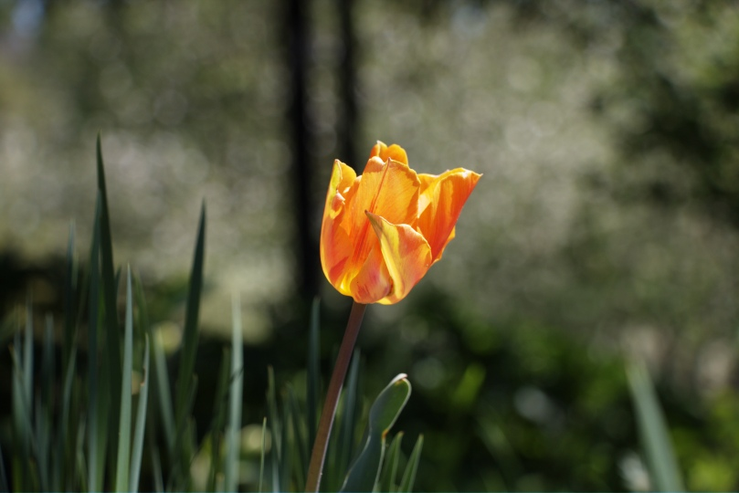 Orange Tulip 2016-04-24 14.25.36.jpg