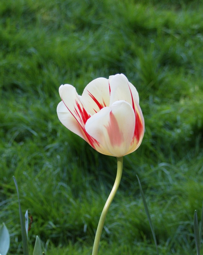 Candy stripe tulip 2016-05-08 15.44.39