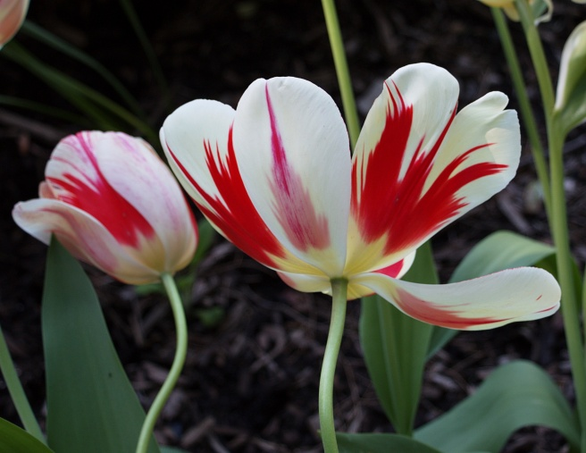 Candy stripe tulips 2016-05-08 15.43.36