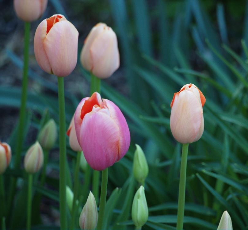 Tulips 2016-05-08 15.36.06