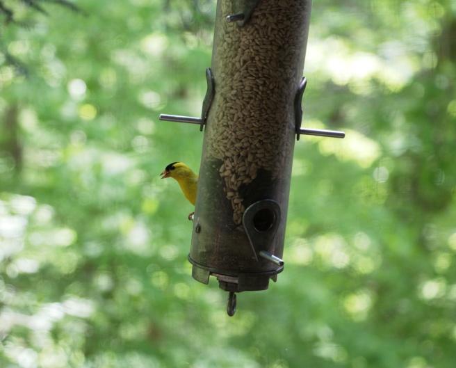Yellow bird on feeder 2016-05-12 14.13.00