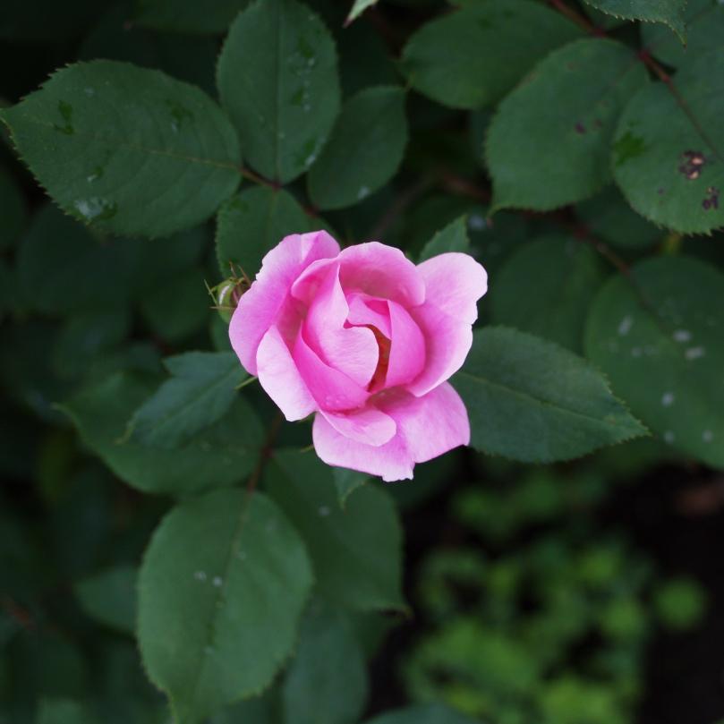 Rose 2016-06-08 16.57.35